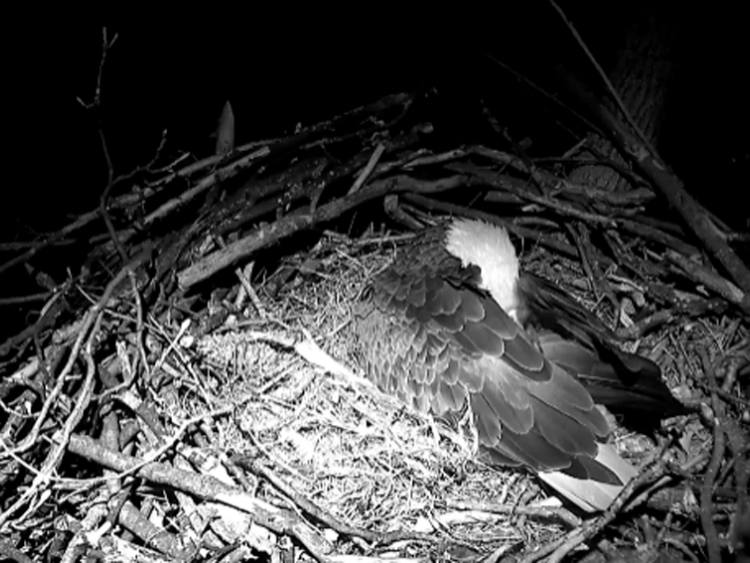One of the Eagles Rests After Another Day of Nesting in D.C.